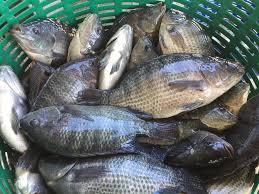 タイの魚市場で売られるプラーニン